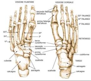 Uno sguardo generale all'anatomia del piede.