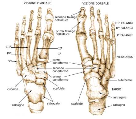 struttura del piede umano